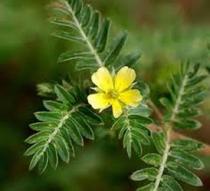 tribulus_terestris.jpg